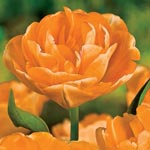 Orange Angelique Tulip