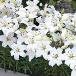 White Carpet Border Lilies