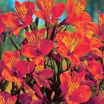 Orange King Peruvian Lily