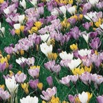 Giant Crocuses for Naturalizing