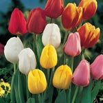 Perennial Tulip Mixture Super Sak<sup>&reg;</sup>