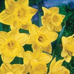 Yellow Trumpet Daffodil Super Sak<sup>&reg;</sup>