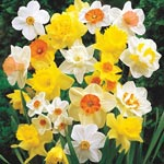 Mixed Daffodils Super Sak<sup>&reg;</sup>