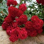 Red Ribbons<sup>&trade;</sup> Groundcover Rose