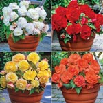 Superba Low-Growing Begonia Collection