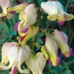 Love Hearts Dicentra