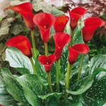 Red Alert<sup>&#174;</sup> Calla Lily