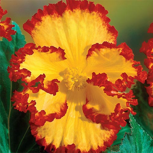 Yellow-Red Crispa Marginata Begonia