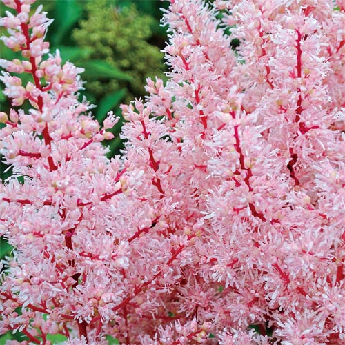 Look at Me<sup>&reg;</sup> Astilbe