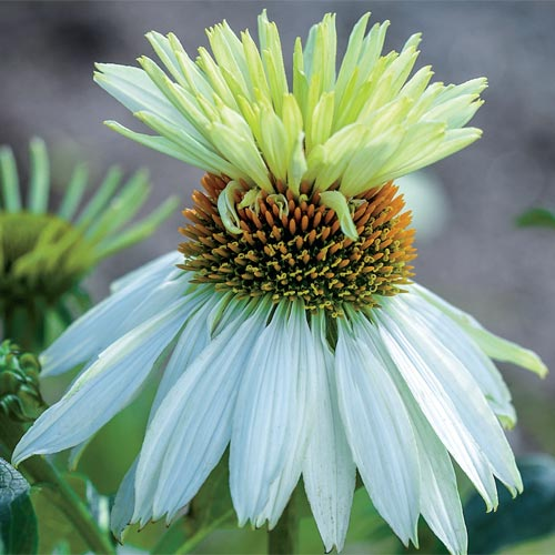 Mount Hood Coneflower