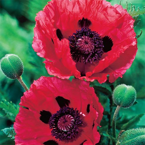 Watermelon Oriental Poppy