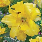 Exotic Sun Double Flowered Lily Tree<sup>&reg;</sup>
