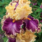 Decadence Tall Bearded Iris