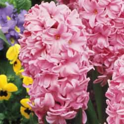 Fondant Fragrant Giant Hyacinth