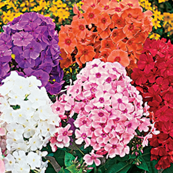 Breck's Bulbs CA http://www.brecksbulbs.ca/product/Tall-Hybrid-Phlox-Mixture/