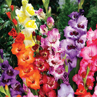 Two-Toned Gladiolus Mixture