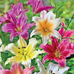 Breck's Bulbs CA http://www.brecksbulbs.ca/product/Lily-Tree-Mixture/