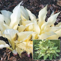 Breck's Bulbs CA http://www.brecksbulbs.ca/product/White-Feather-Hosta/