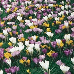 Breck's Bulbs CA http://www.brecksbulbs.ca/product/Giant_Crocuses_for_Naturalizing/