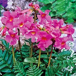 Breck's Bulbs CA http://www.brecksbulbs.ca/product/Flowering_Fern/