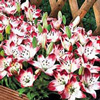 Red Carpet Border Lily